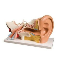Giant Ear-Classic Version 3 times life-size 4 part