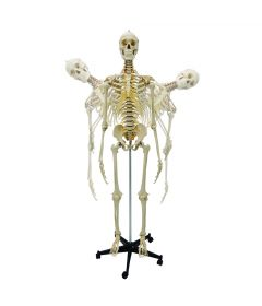 Flexible Skeleton