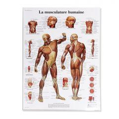 Musculature Humaine Charte (Francais)