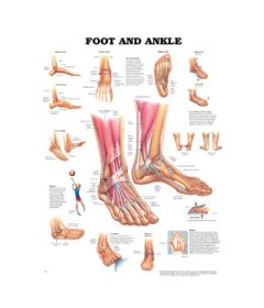 Foot & Ankle - Anatomy & Injuries